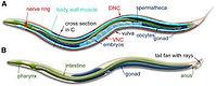 C elegans.jpg