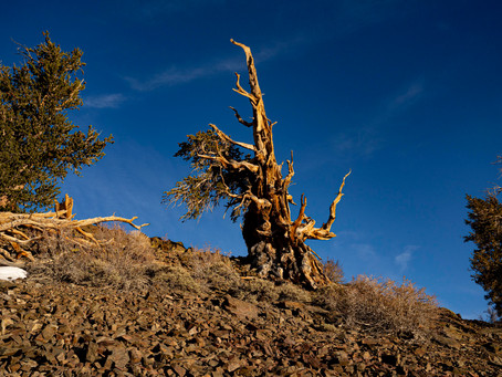 Back to the Ancient Bristlecone Pine Forest