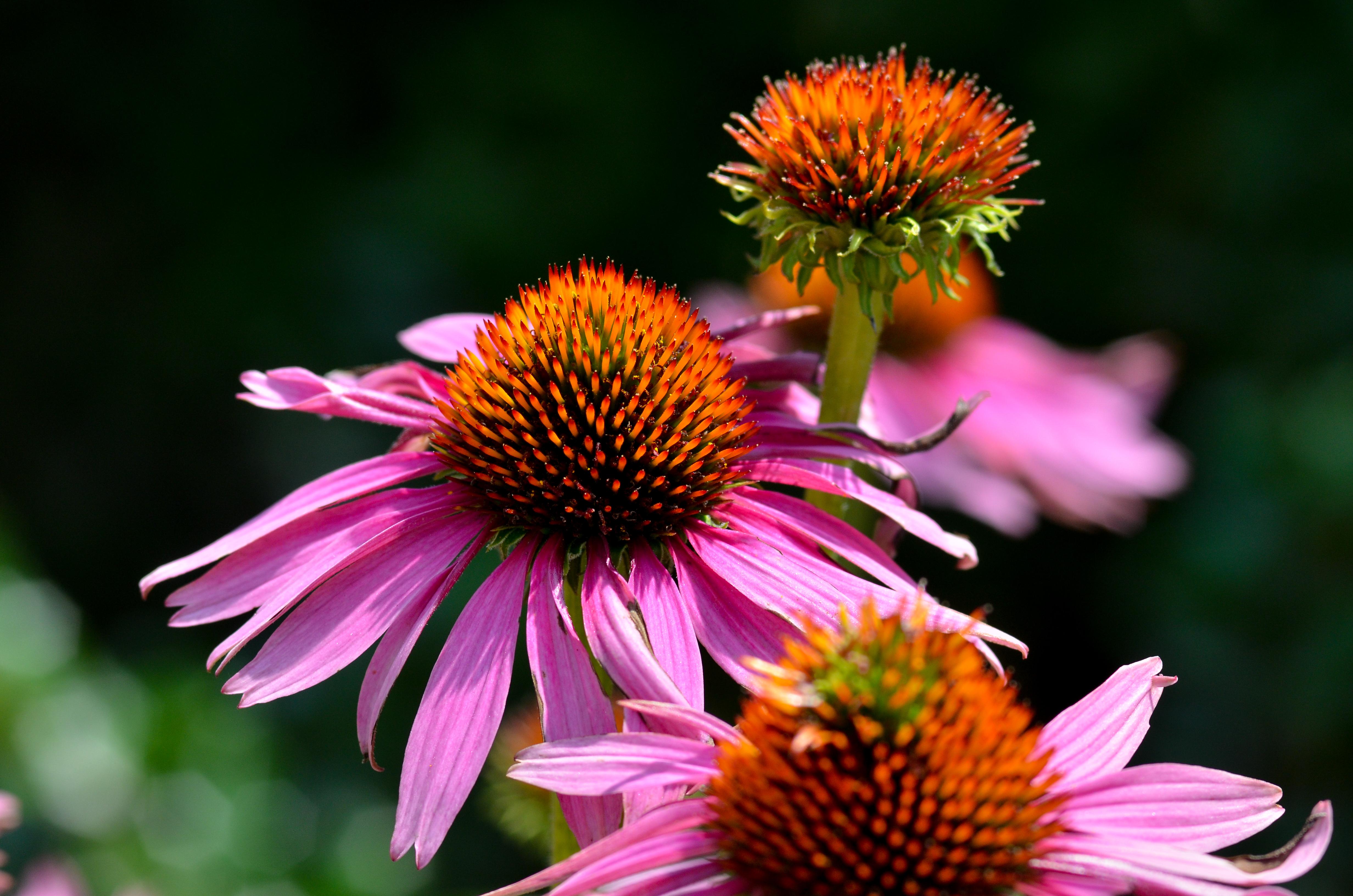 Floral Echinacea