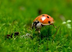 Ladybug FS