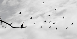Cormorant Autumn A