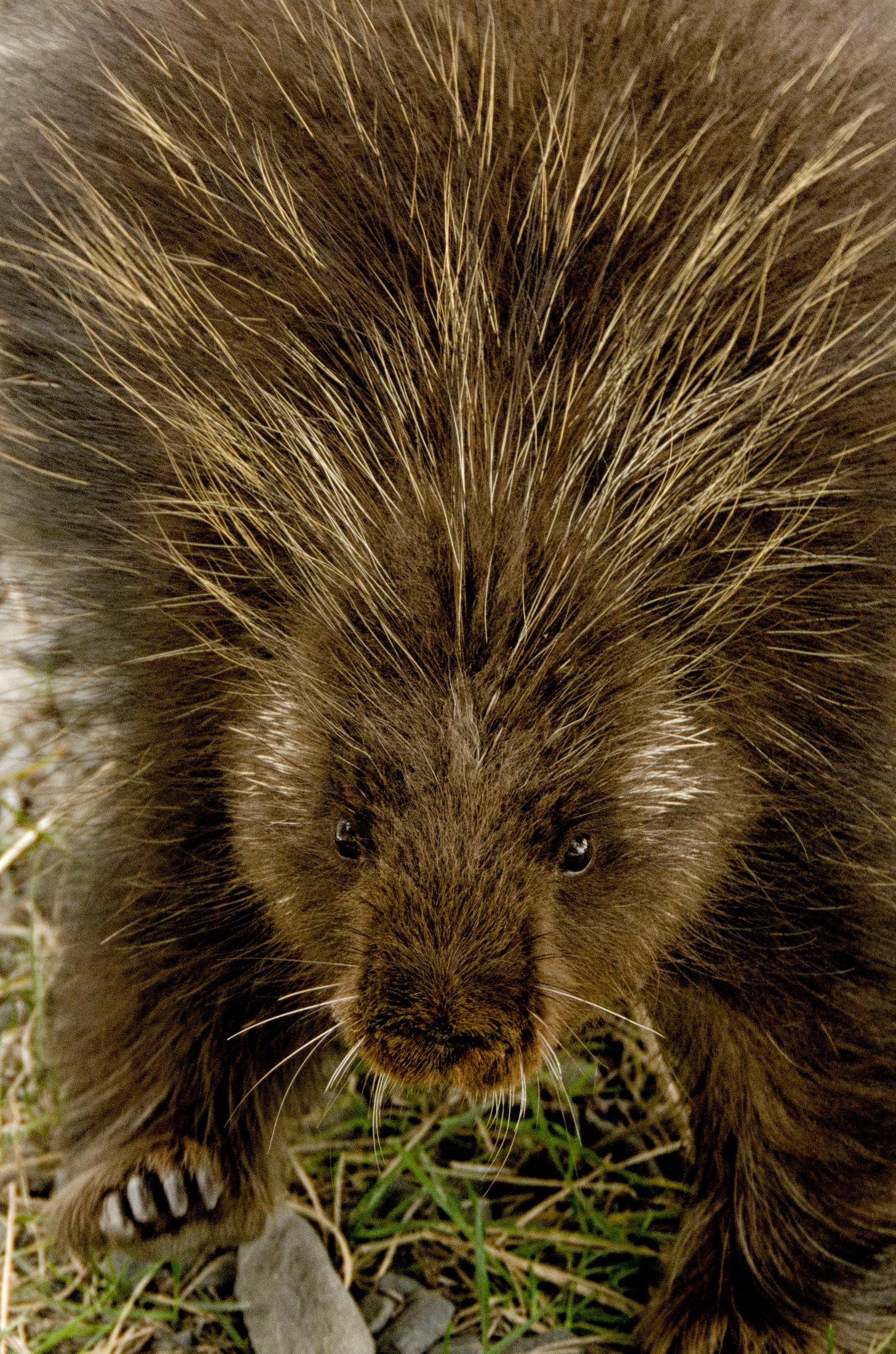 Poor Porcupine
