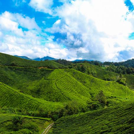 MALAYSIA'S SCENIC TEA PLANTATIONS: THE CAMERON HIGHLANDS