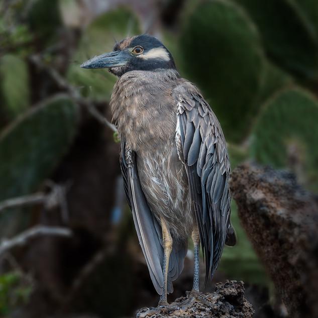 Galapagos Island Bird