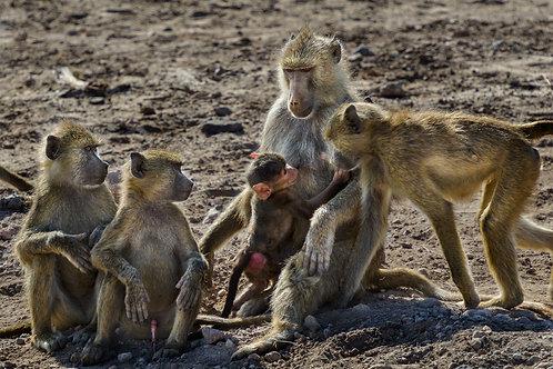 Baboons in Amboselli National Park, Kenya