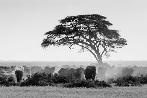 Herd of Dusty Elephants in Amboselli National Park, Kenya