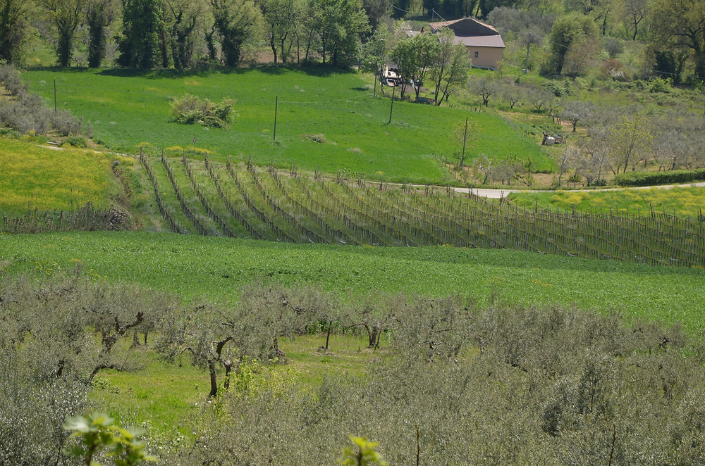 Our neighbour's little vineyard down the hill from Casa della Zia