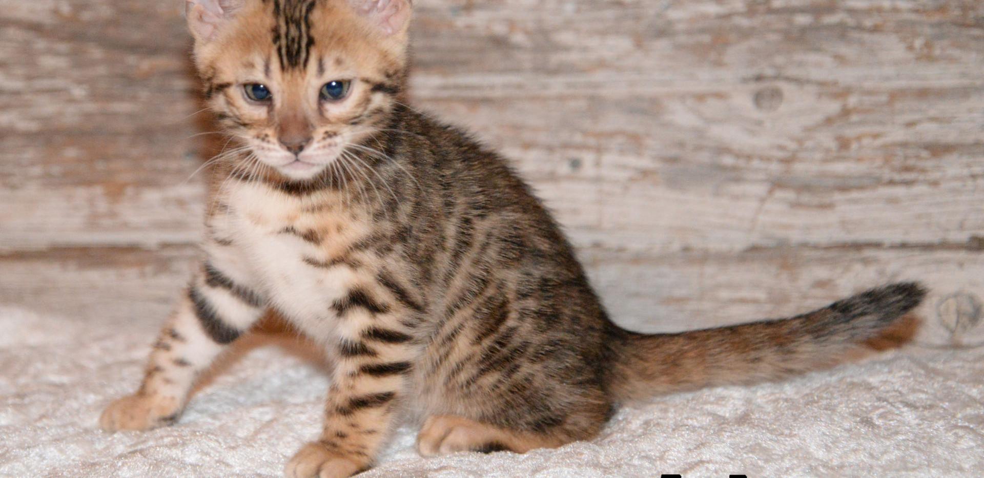 Brown Rosetted Female Bengal Kitten
