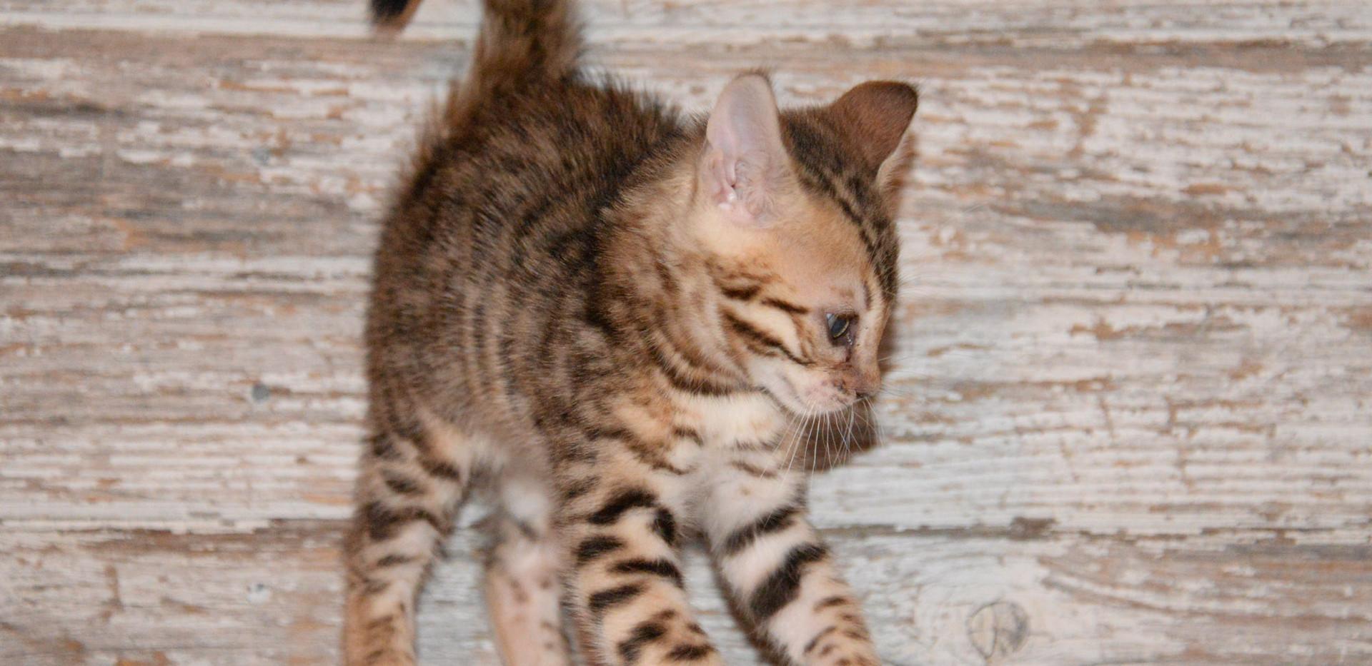 Brown Rosetted Female Bengal Kitten.jpg