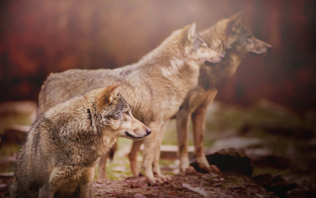 3 Common Misconceptions About the World of Wolves