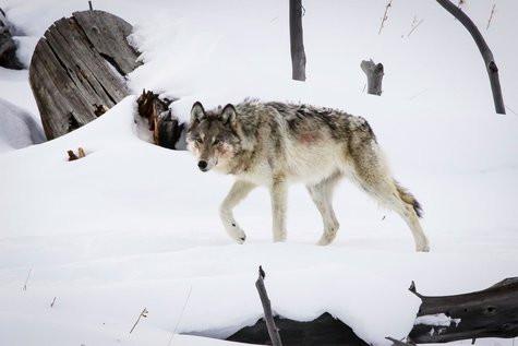 female+06+wild+wolf