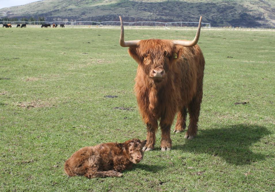 highland-calf.jpg