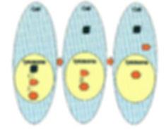 lysosome.jpg