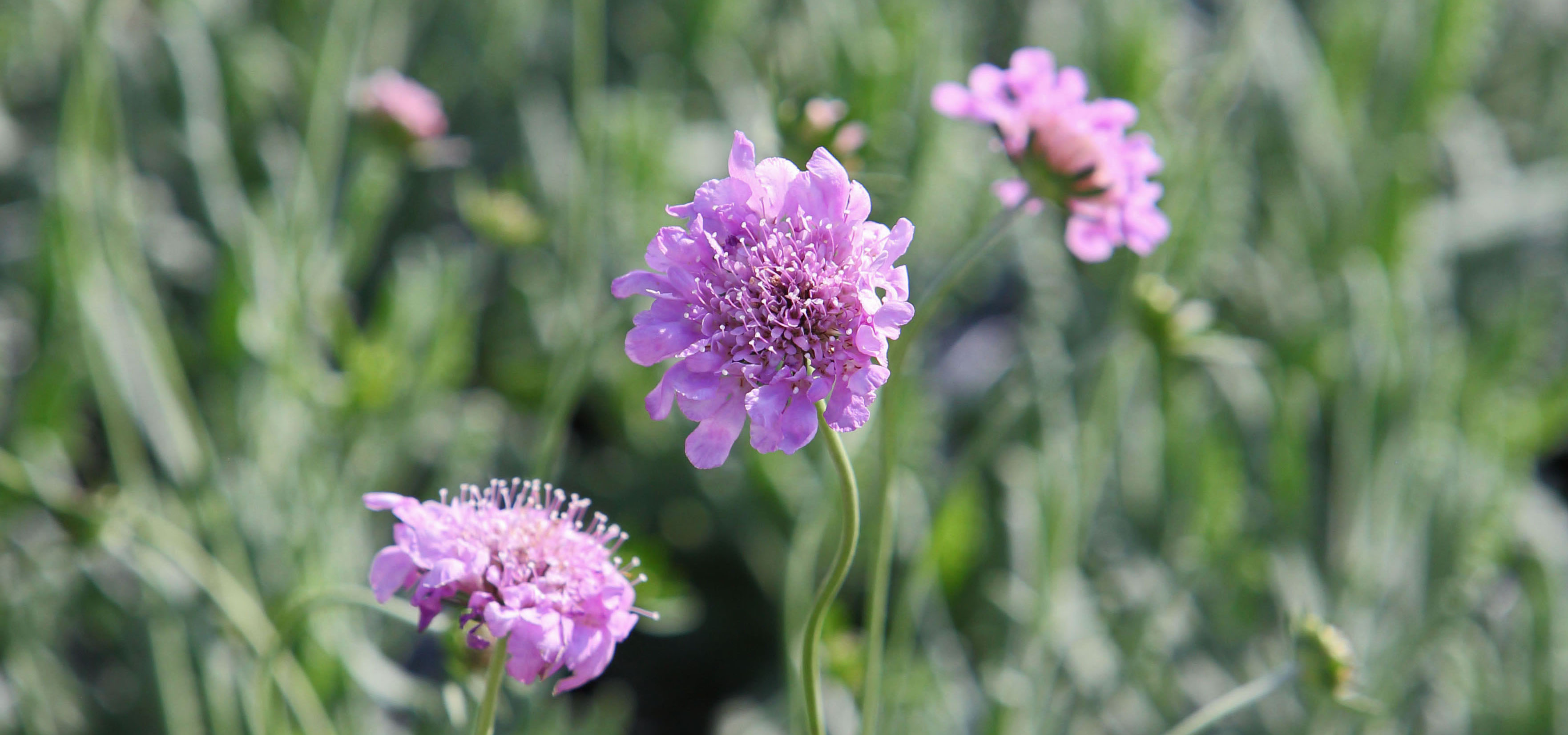 Scabiosa Pincushion Flower
