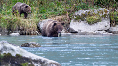 Bärenfamilie am Chilkoot River