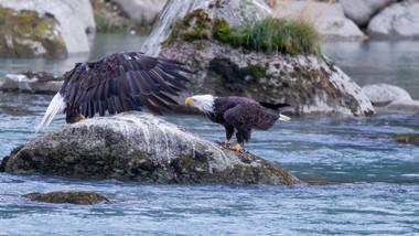 Weisskopfseeadler am Chilkoot Lake Alaska