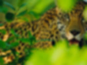 Male Jaguar, Pantanal, Brazil_1.jpg