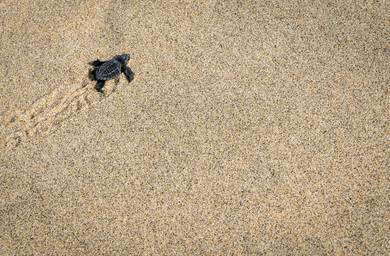 Baby Turtles being released on the beach