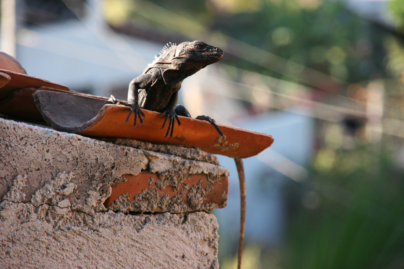 Big lizard, Puerto Escondido, Mexico.jpg