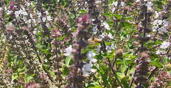 הדבורה אוספת צוף מפרח הריחן.jpg