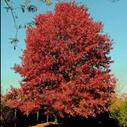 Oak Red