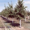 Oak Shingle
