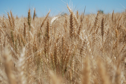 Wheat at Marshmead.png
