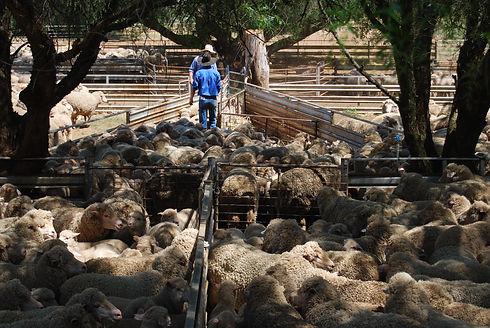 Sorting lambs.JPG