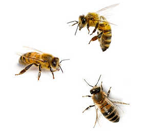 3 bees.png