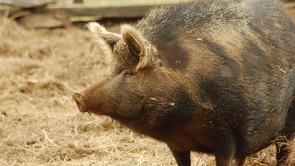 Mapping genome of Ossabaw pig gives further insights into human obesity and associated disease