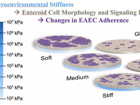 Hydrogel-based platforms help researchers by mimicking intestinal environments for pathogen research