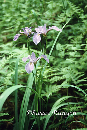 9 - Blue Flag Iris