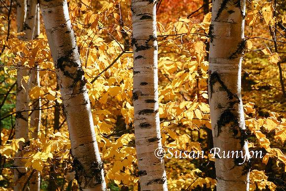 9 - Three Birches