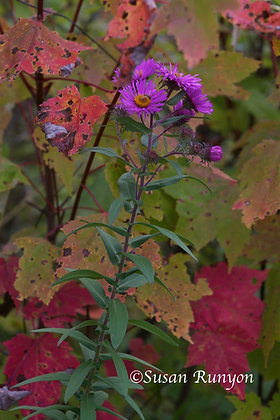 Aster and Autumn Leaves