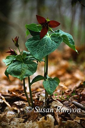 8 - Red Trillium