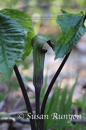 5 - Jack in the Pulpit