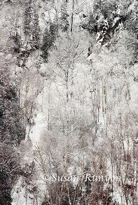 White Birches on Cascade Lakes
