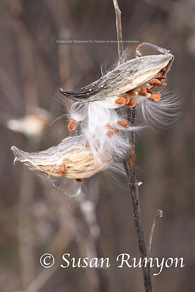 13 - Milkweed Gone to Seed