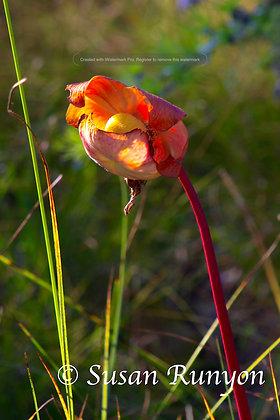 6 - Pitcher Plant Flower