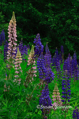 4 - Pink and Purple Lupine