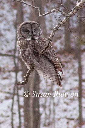 1 - Great Grey Owl