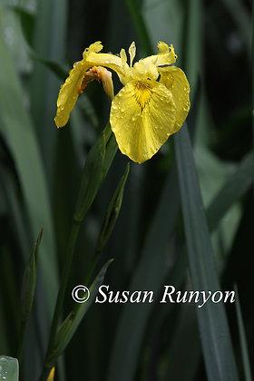 9 - Yellow Flag Iris-1