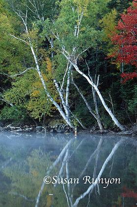 4 - Birches on Round Lake