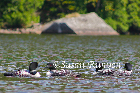 13 - Loons on the Ausable