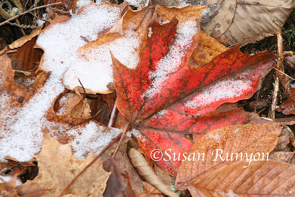 Snow on Maple Leaf