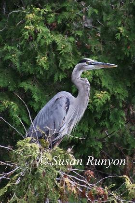5 - Great Blue Heron