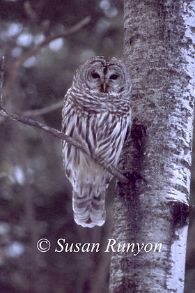 3 - Barred Owl