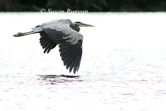 8 - Great Blue Heron in Flight-2