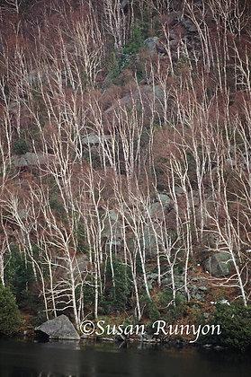 3 - Birches on Cascade Lakes