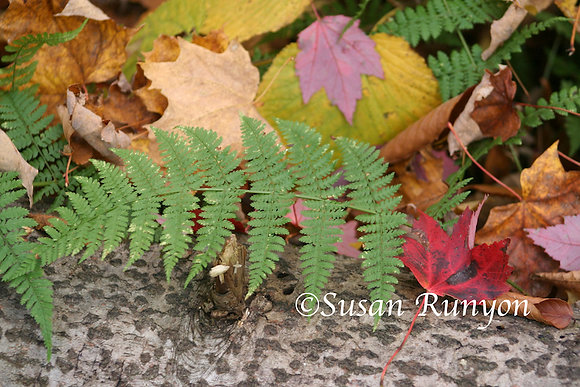 Autumn Leaves and Fern